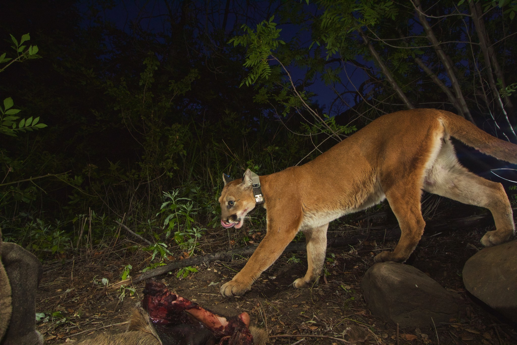 watch a mountain lion drag a deer carcass from a bay area front