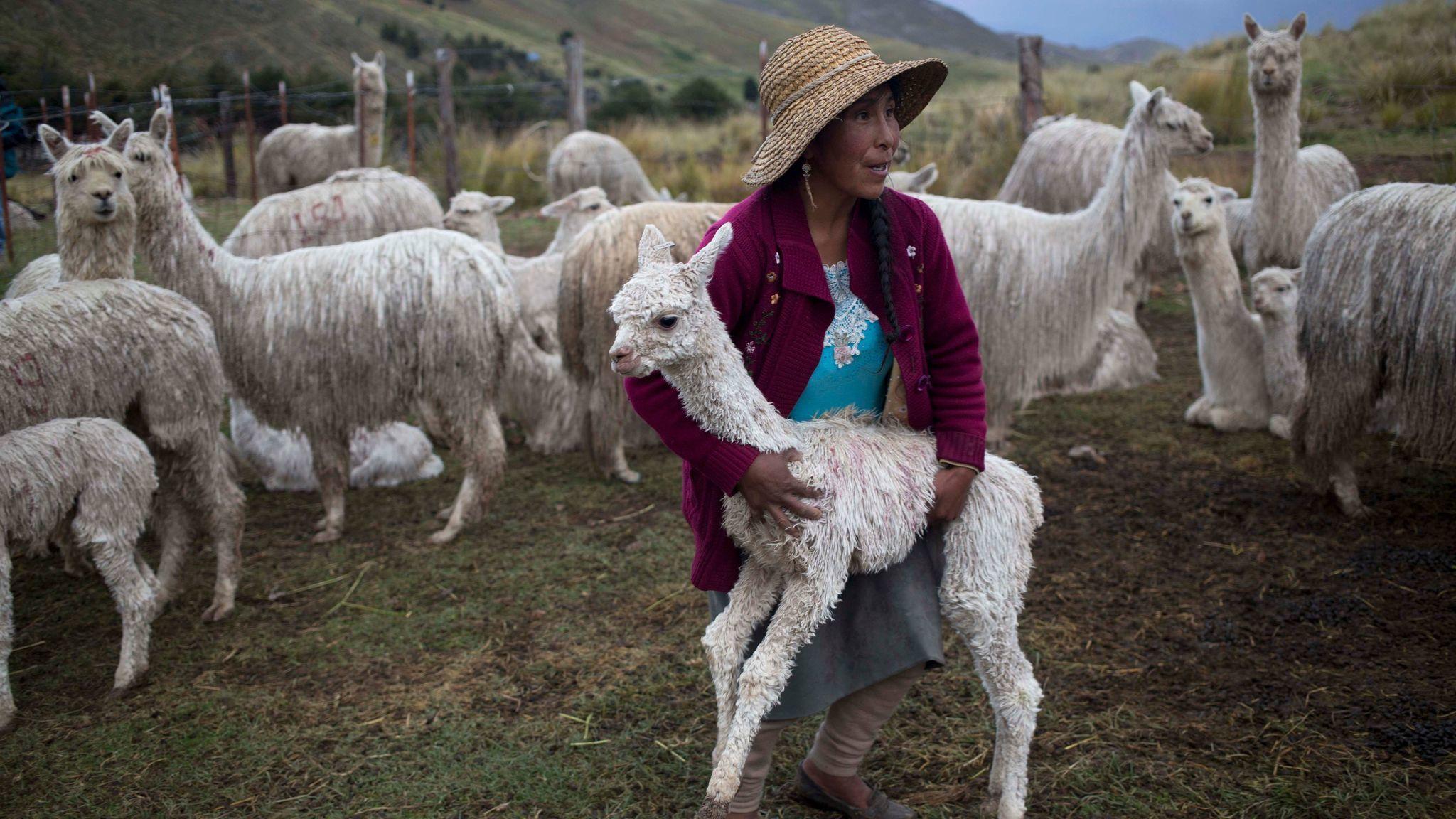 Mallkini Hacienda alpaca farm in Arequipa, Peru.