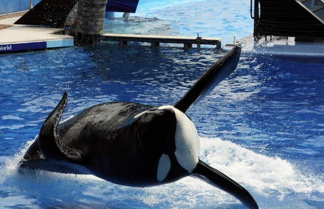 tilikum the infamous seaworld killer whale has died