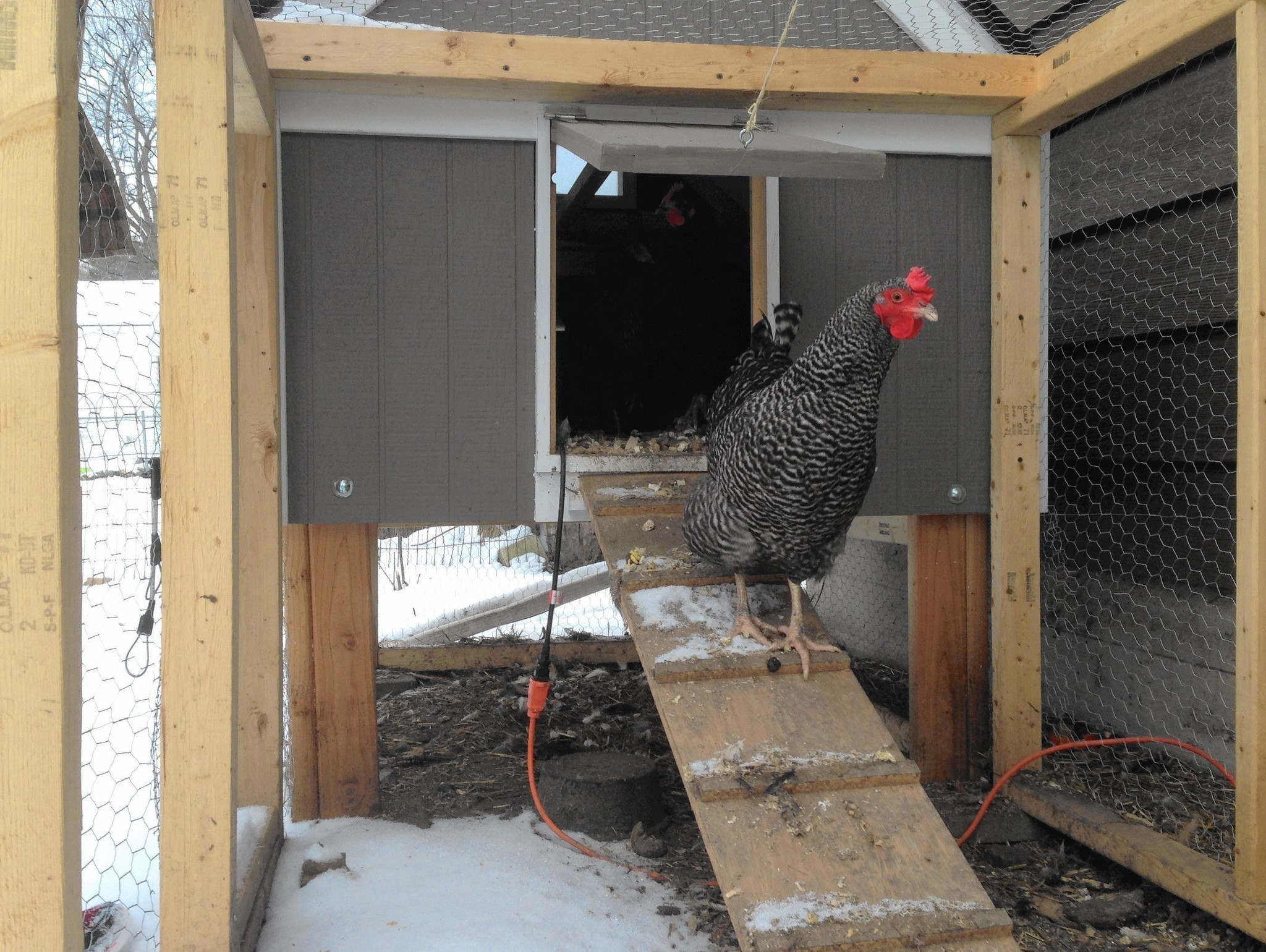 oswego may join flock allowing backyard chickens aurora beacon news
