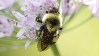 Rusty patched bumblebee becomes endangered species, a first in the continental U.S.