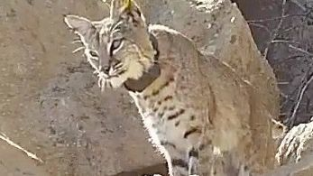 Bobcat with 'severe mange' dies in Simi Valley; blood tests pending