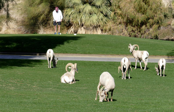 Endangered bighorn sheep sharing a controversial lush life on the greens at La Quinta's desert golf courses