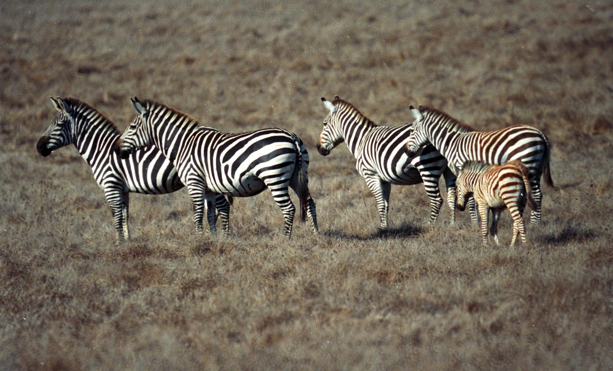 Skinned zebra found dead on beach near Hearst Castle
