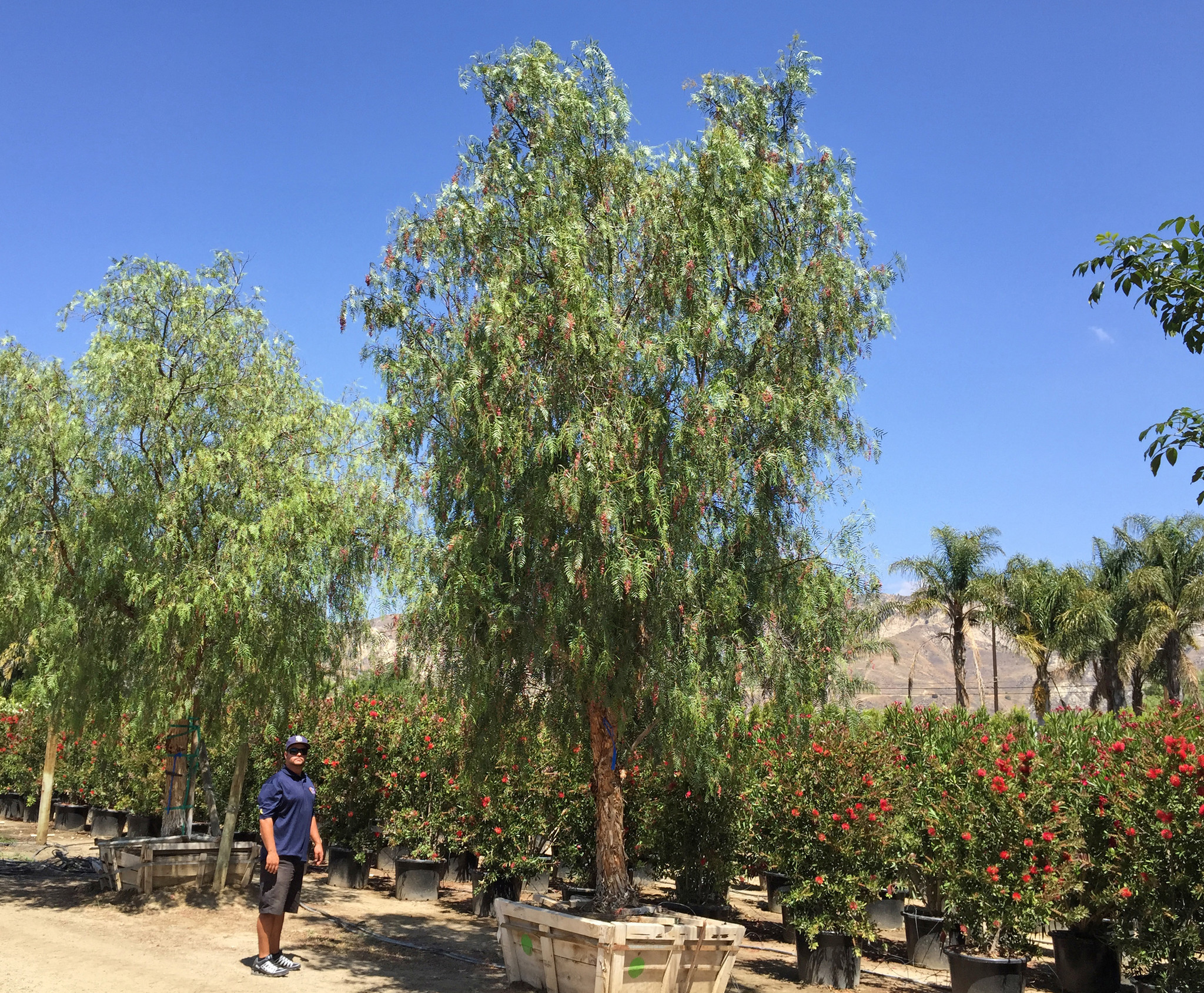California Pepper Trees not only help create fire protection, once mature, they also provide sweeping shade to help cool down homes.