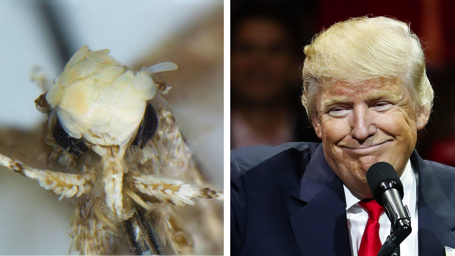 Image result for trump moth