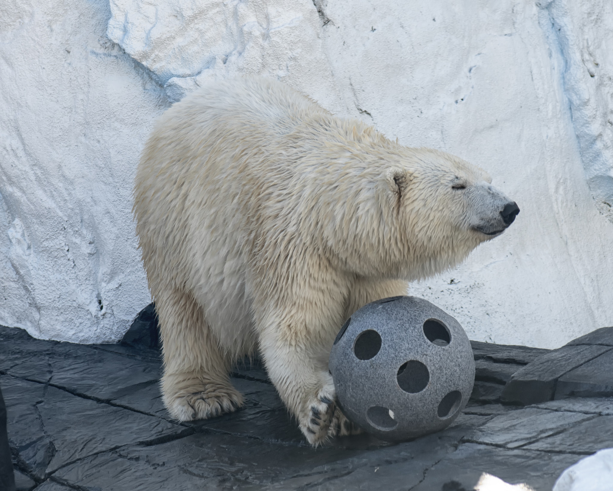 first killer whales now polar bears peta goes after seaworld