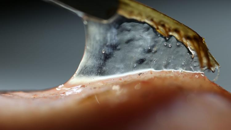 A researcher slowly pulls a cricket leg from a saliva-covered frog tongue.