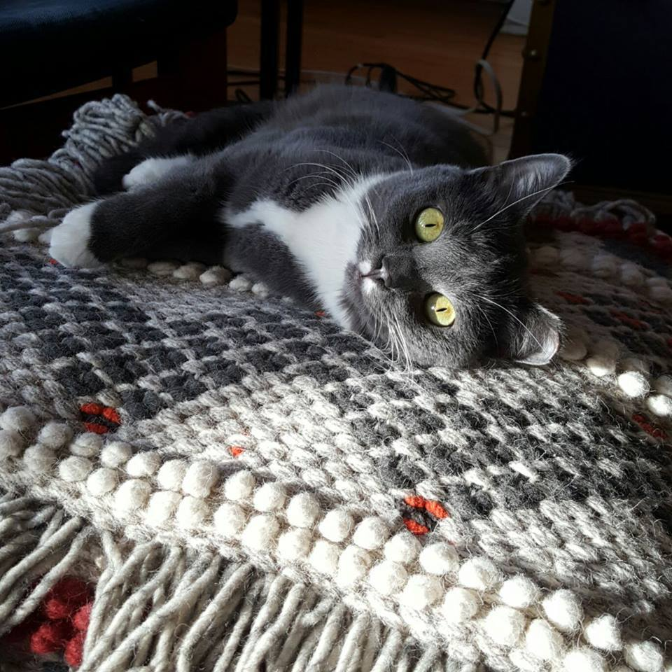Adopt miss maravilla she 39 s good with other cats no so for Spider plant cats