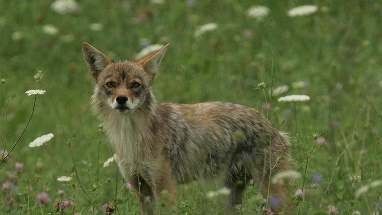 Coyotes removed from North Side park after residents fed them, let them play with pets – Chicago Tribune