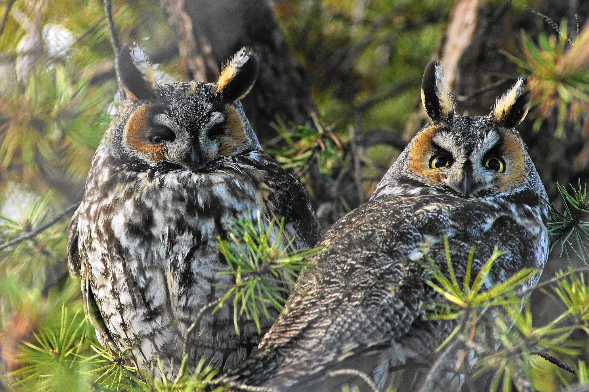 long eared owls flock to chicago in unusual irruption chicago
