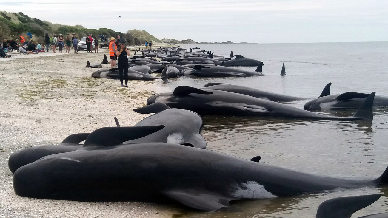 Volunteers Save 100 Of 416 Pilot Whales That Beached Themselves In