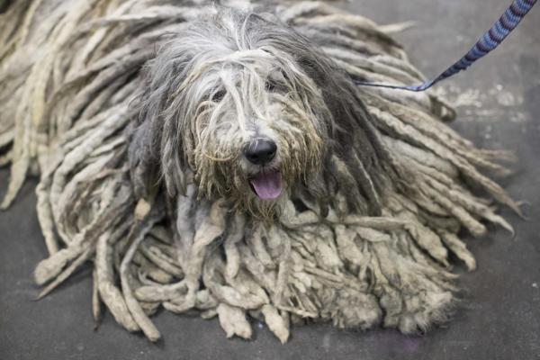 Westminster Dog Show On Directv