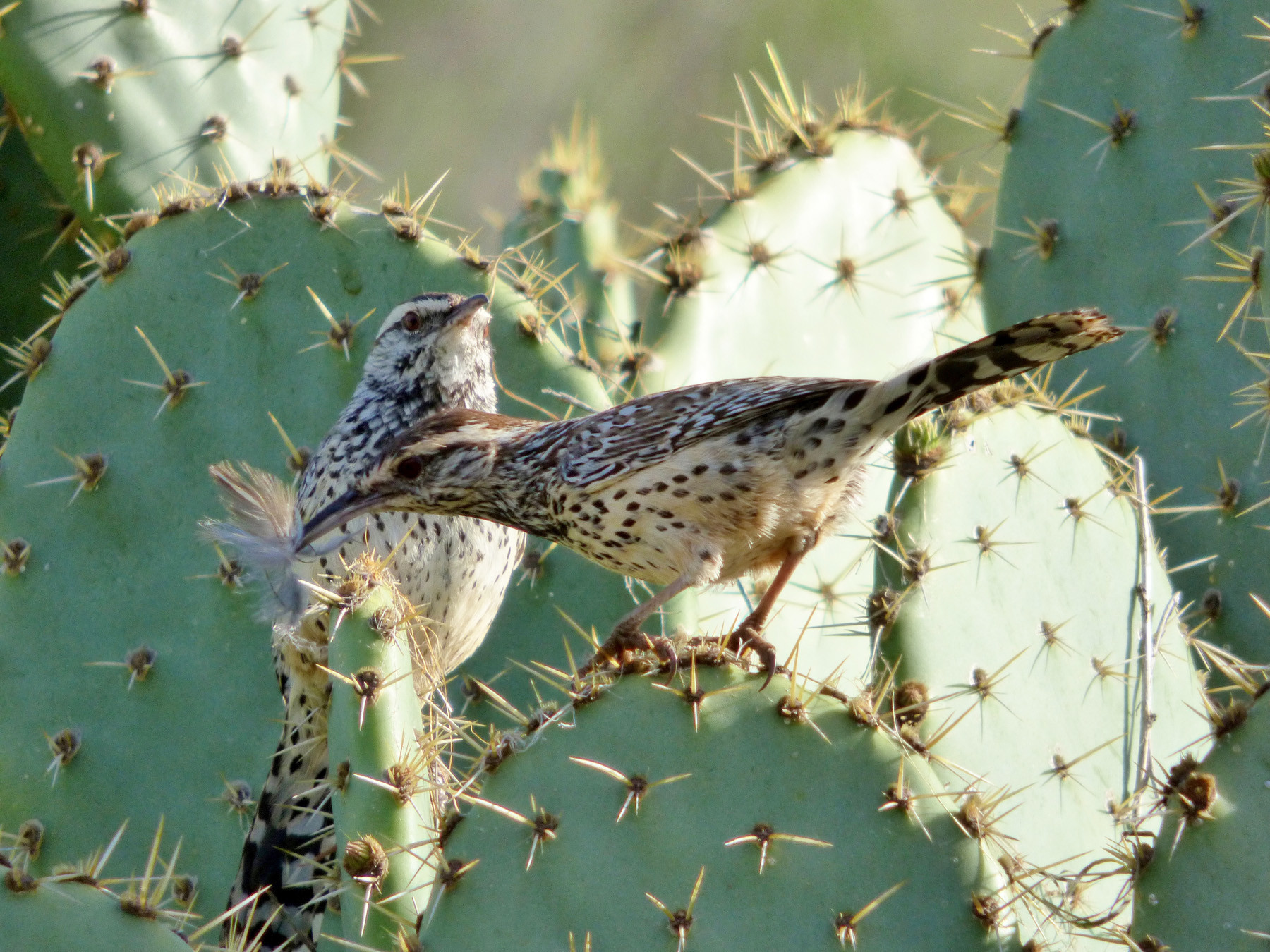 A pair of coastal cactus wren, a threatened species in the area.