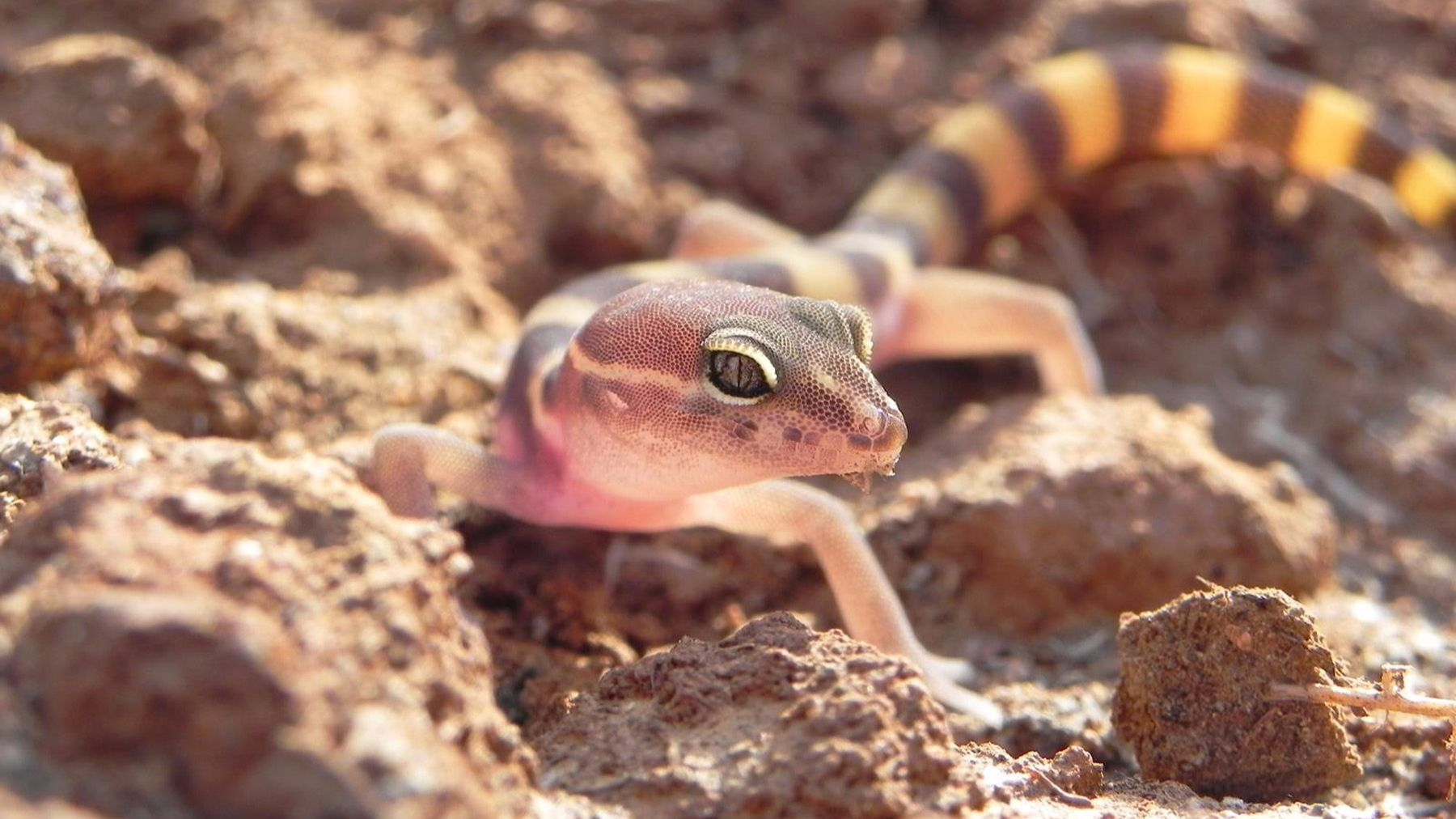 A San Diego banded gecko, a California species of special concern.