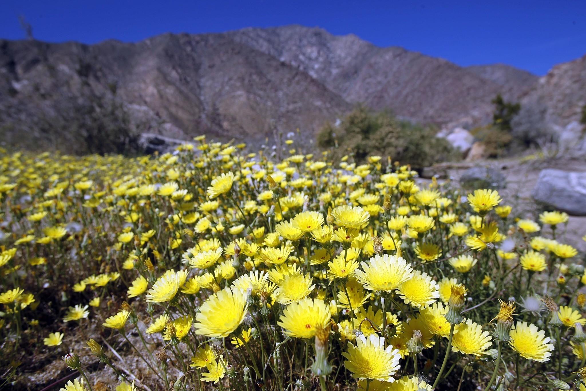 Rains Bring Promise Of Spectacular Desert Flowers The San Diego