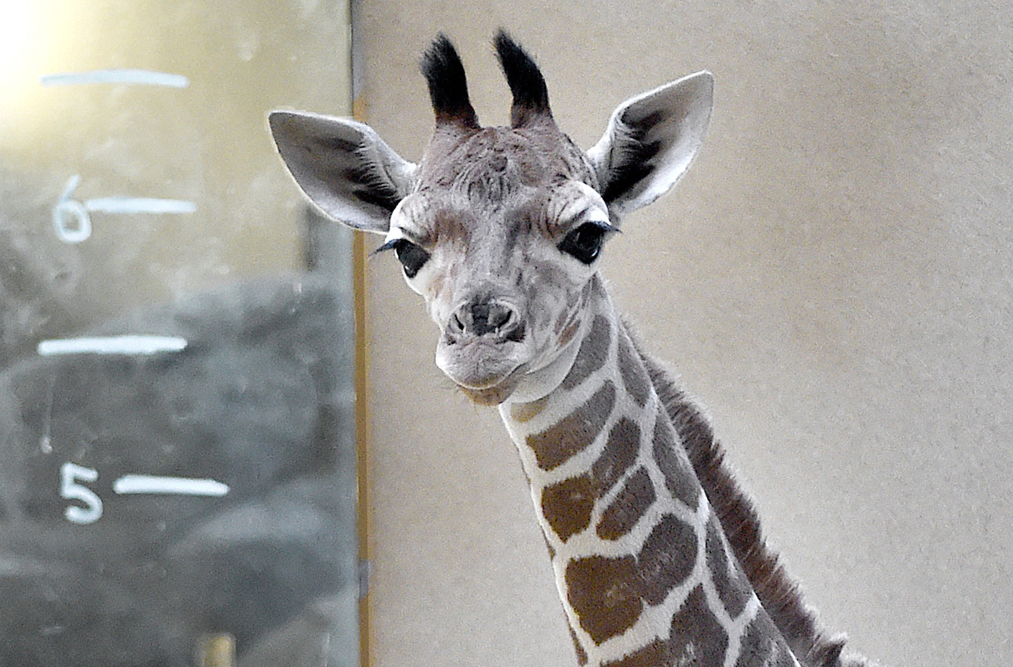 maryland zoo hosts online voting on name of newborn giraffe