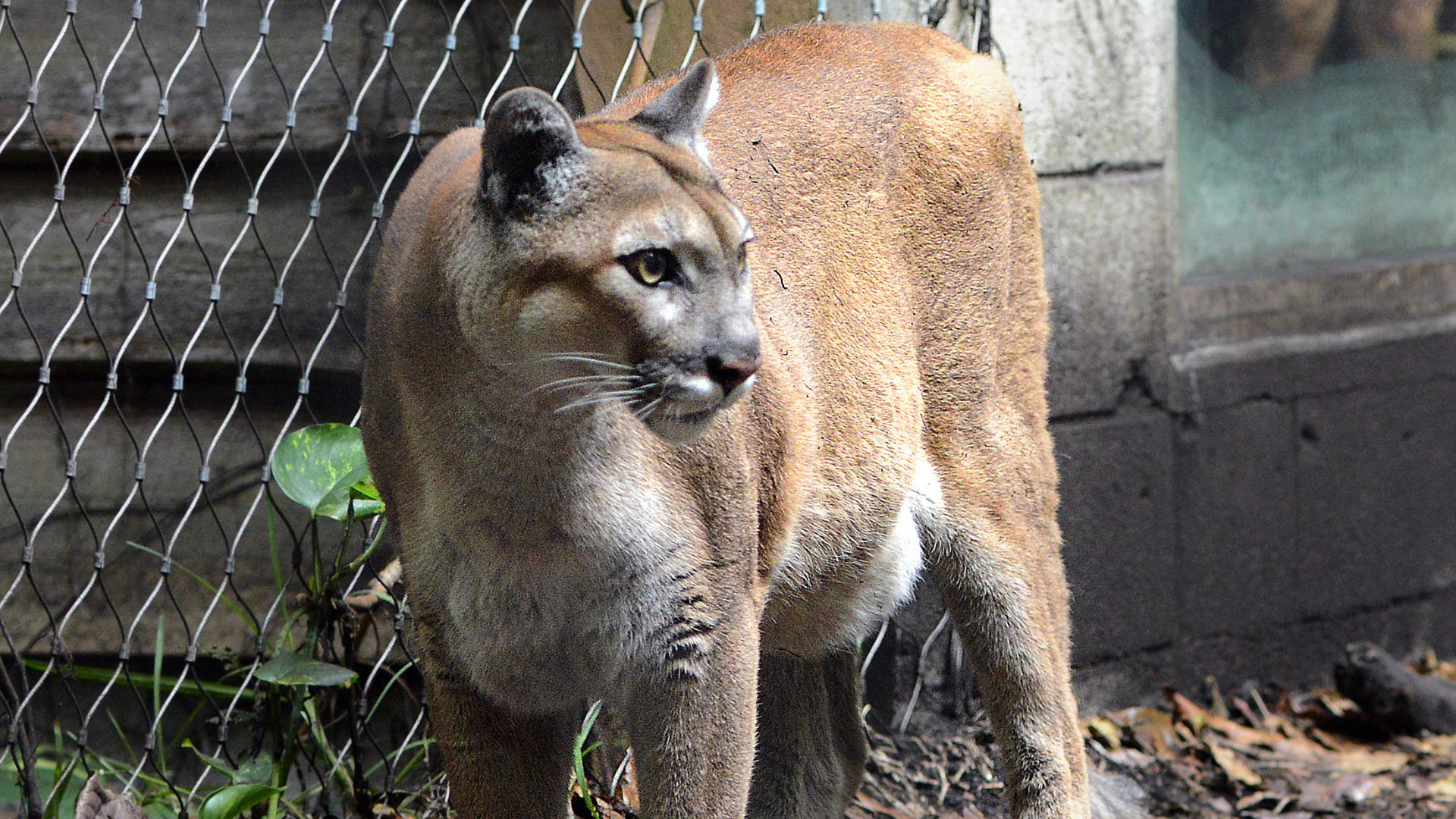 florida panther essay Open document below is an essay on florida panther from anti essays, your source for research papers, essays, and term paper examples.