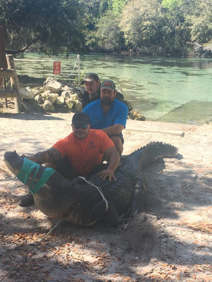 Florida deputy, trappers pull 13-foot alligator from swimming hole