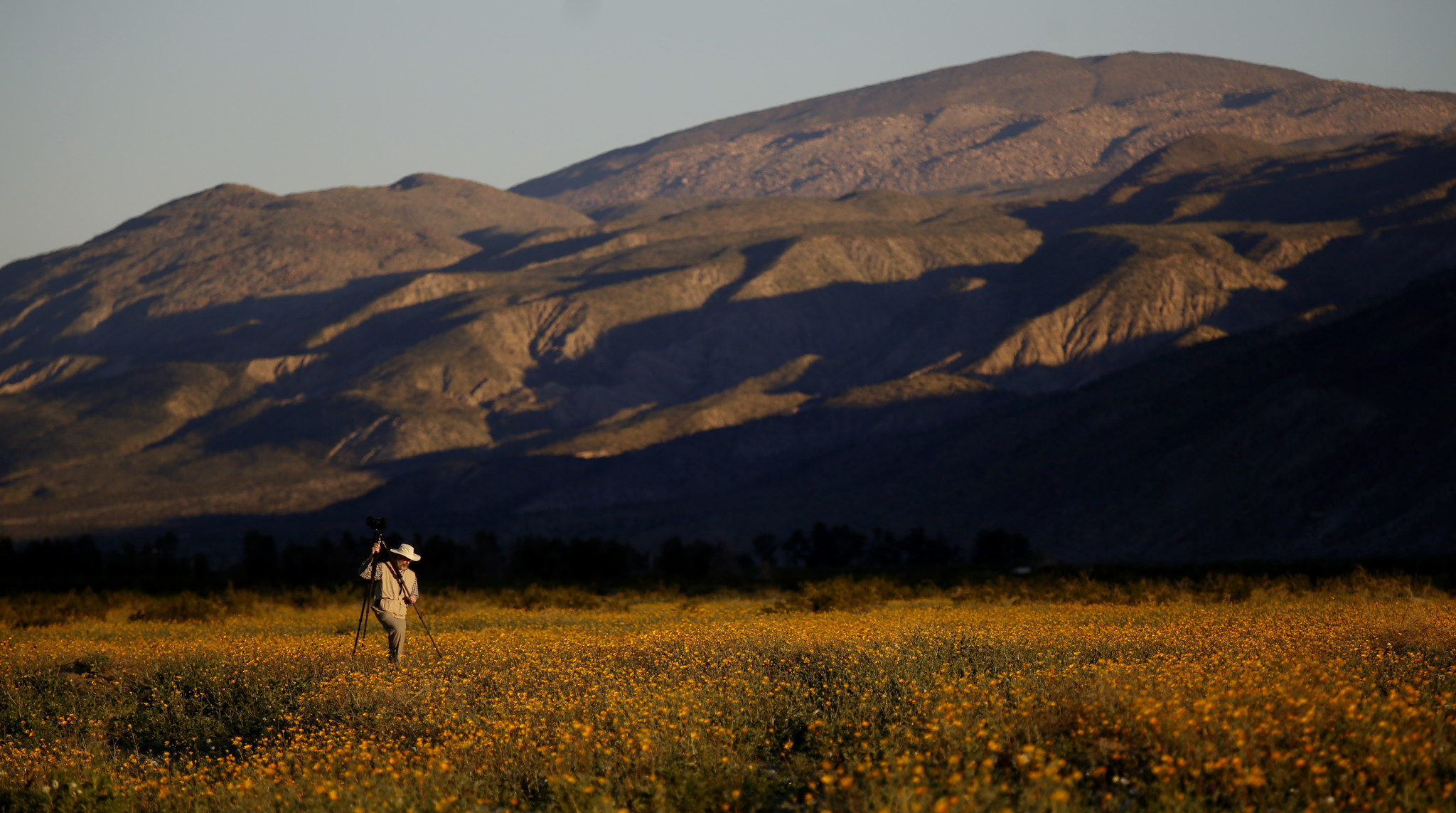 the desert is in super bloom at anza borrego state park
