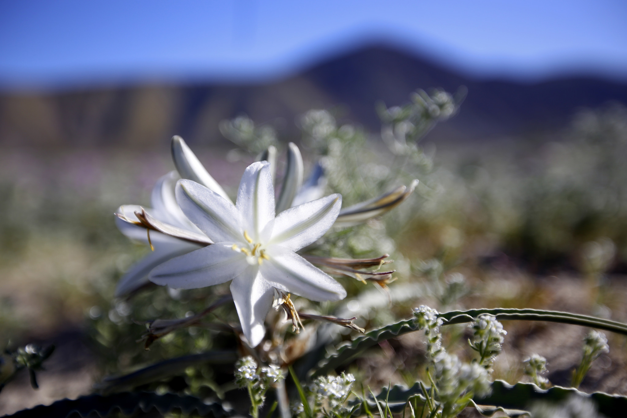 wildflowers begin to bloom at anza borrego desert state park la