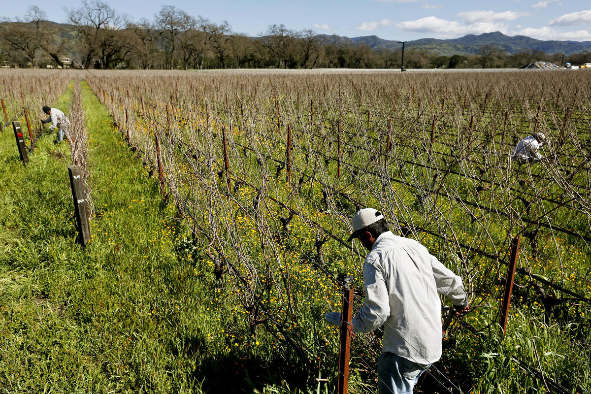 Workers prune grapevines at a Napa Valley vineyard. (Gary Coronado / Los Angeles Times)