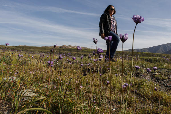 Native flowers aren't the only plants in 'super-bloom' this spring — nasty weeds have also flourished