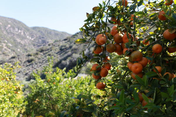 Ojai goes a little crazy when Pixie tangerines arrive. Ready for a Pixie scrub or a Pixie margarita?