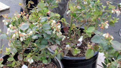 Grow blueberries on your patio: They're perfect for small-space gardening.