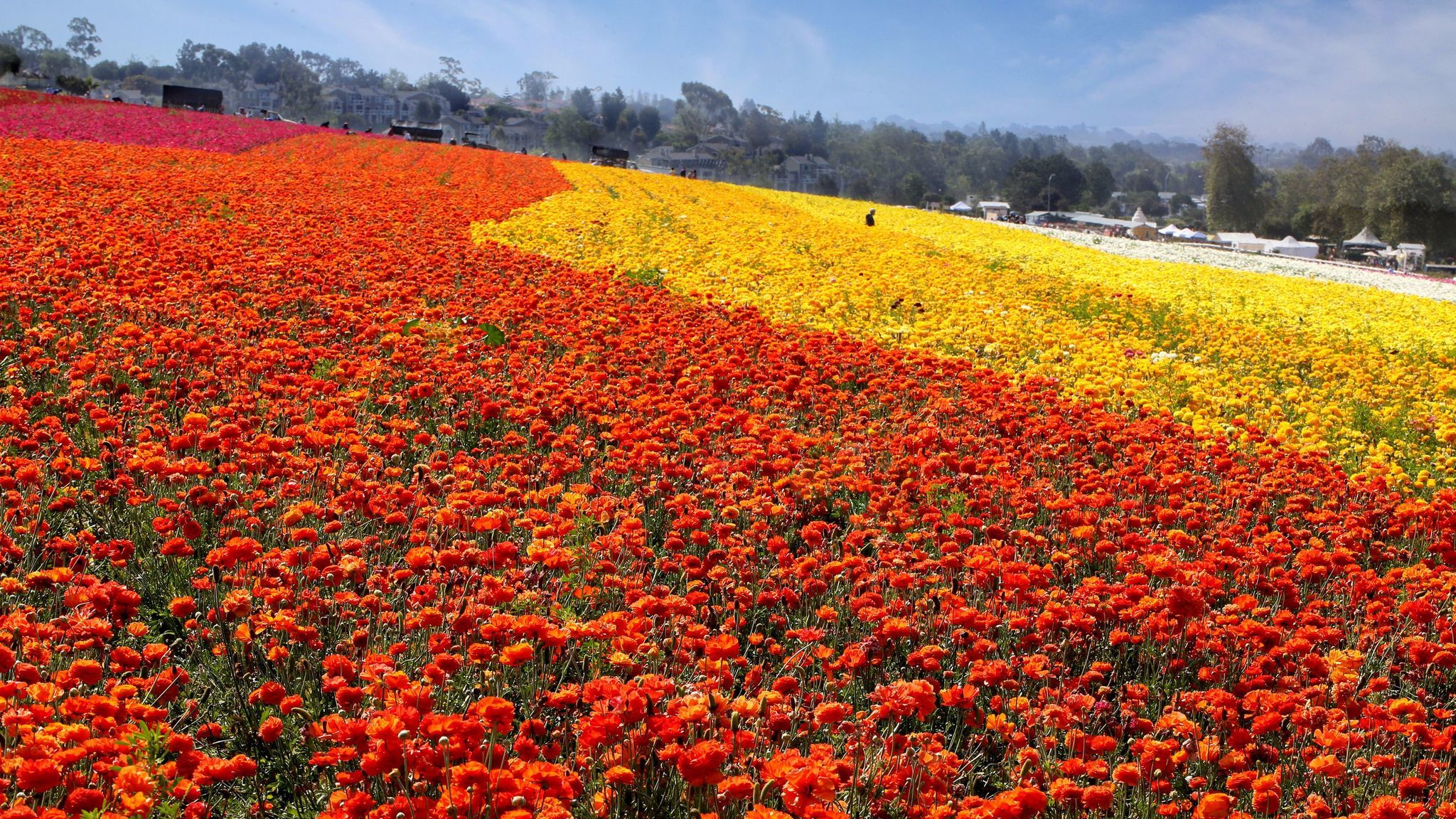 The Flower Fields at Carlsbad Ranch is back with 50 acres of endless color.