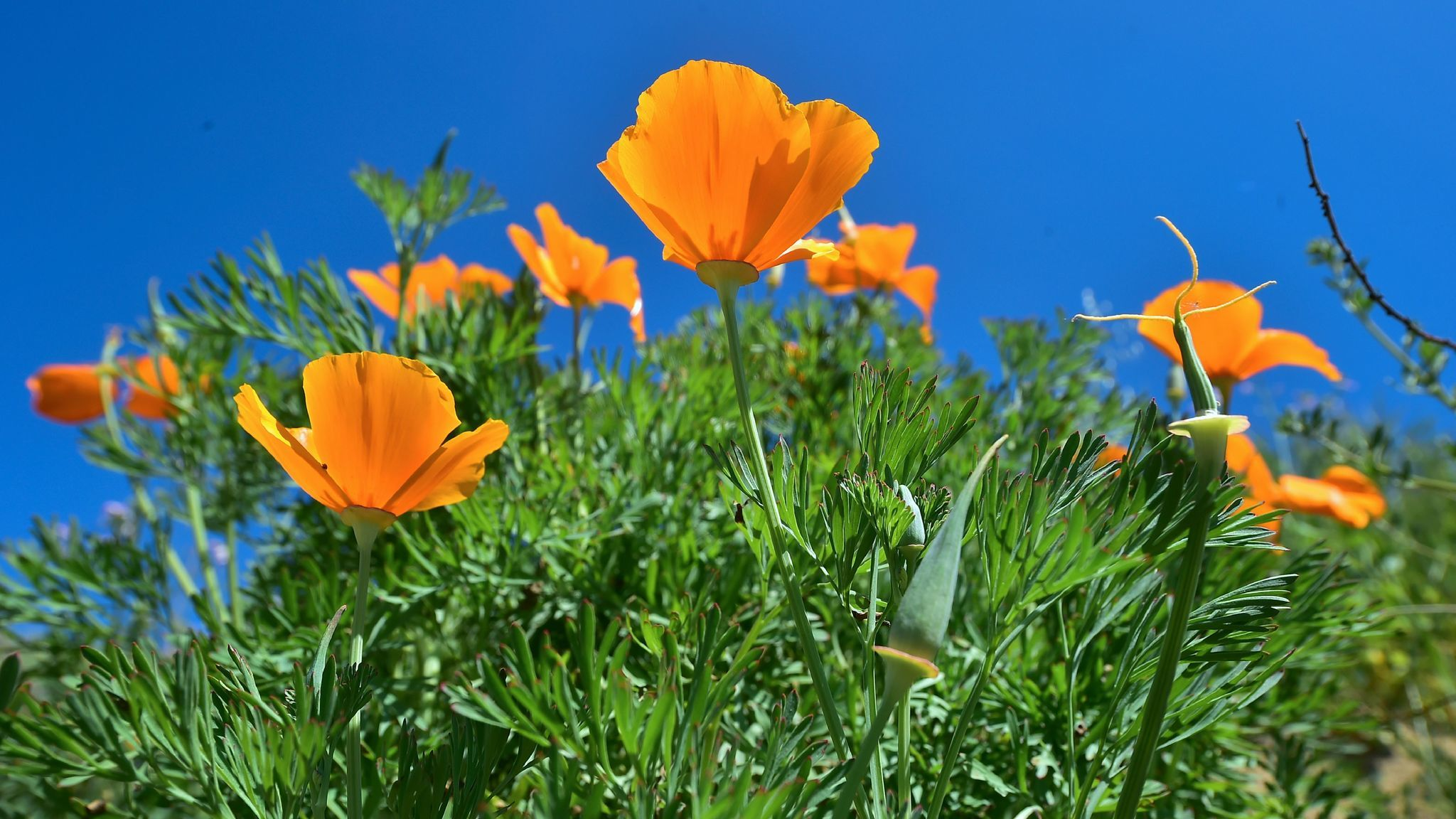 Wildflowers bloom at Chino Hills State Park in Chino Hills on March 12.