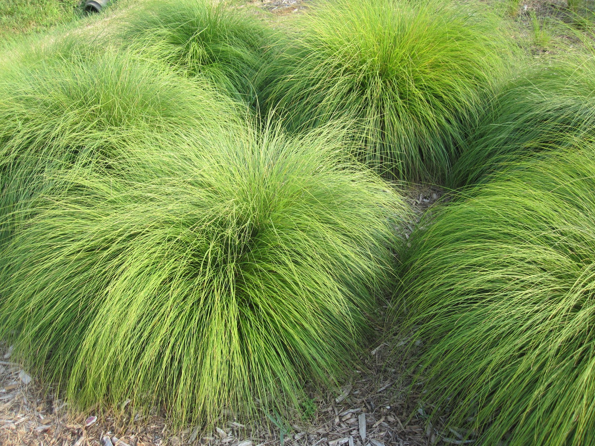 Some decorative grasses spell trouble but attractive for Decorative lawn grass