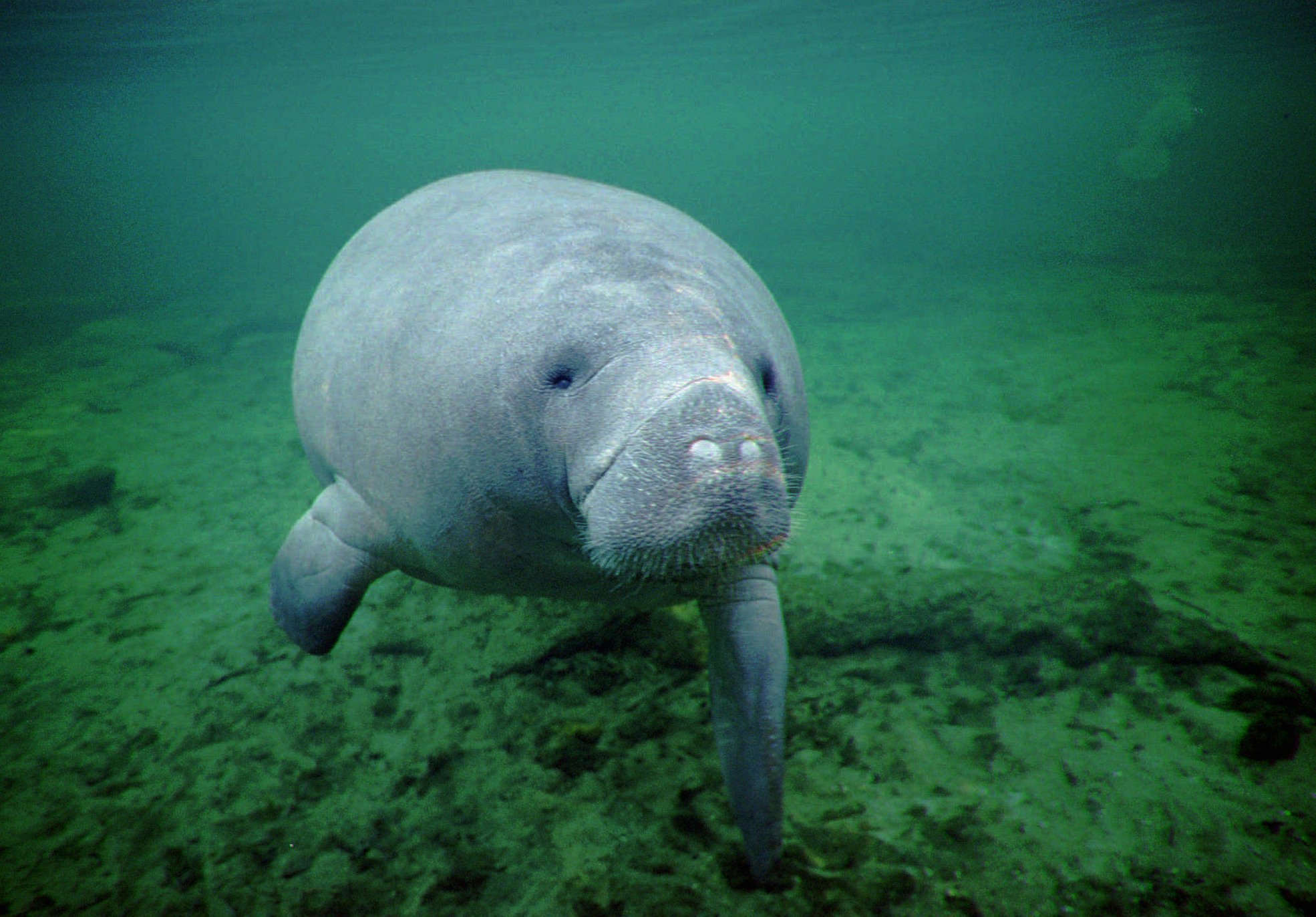 Manatees downgraded from 39 endangered 39 to 39 threatened for Endangered fish species