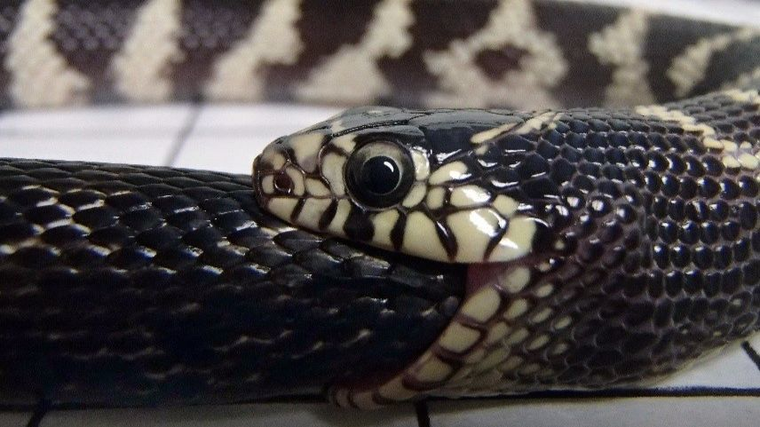 Here's what gives kingsnakes the edge in snake-to-snake combat