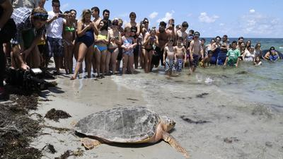 It's sea turtle season in Florida. Here's how to see them.