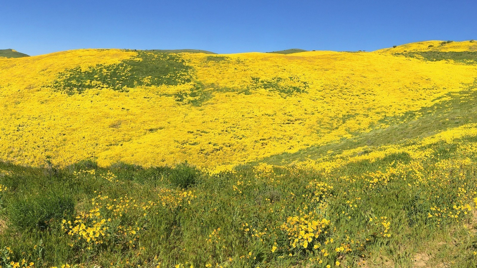 Carrizo Plain's fields of gold