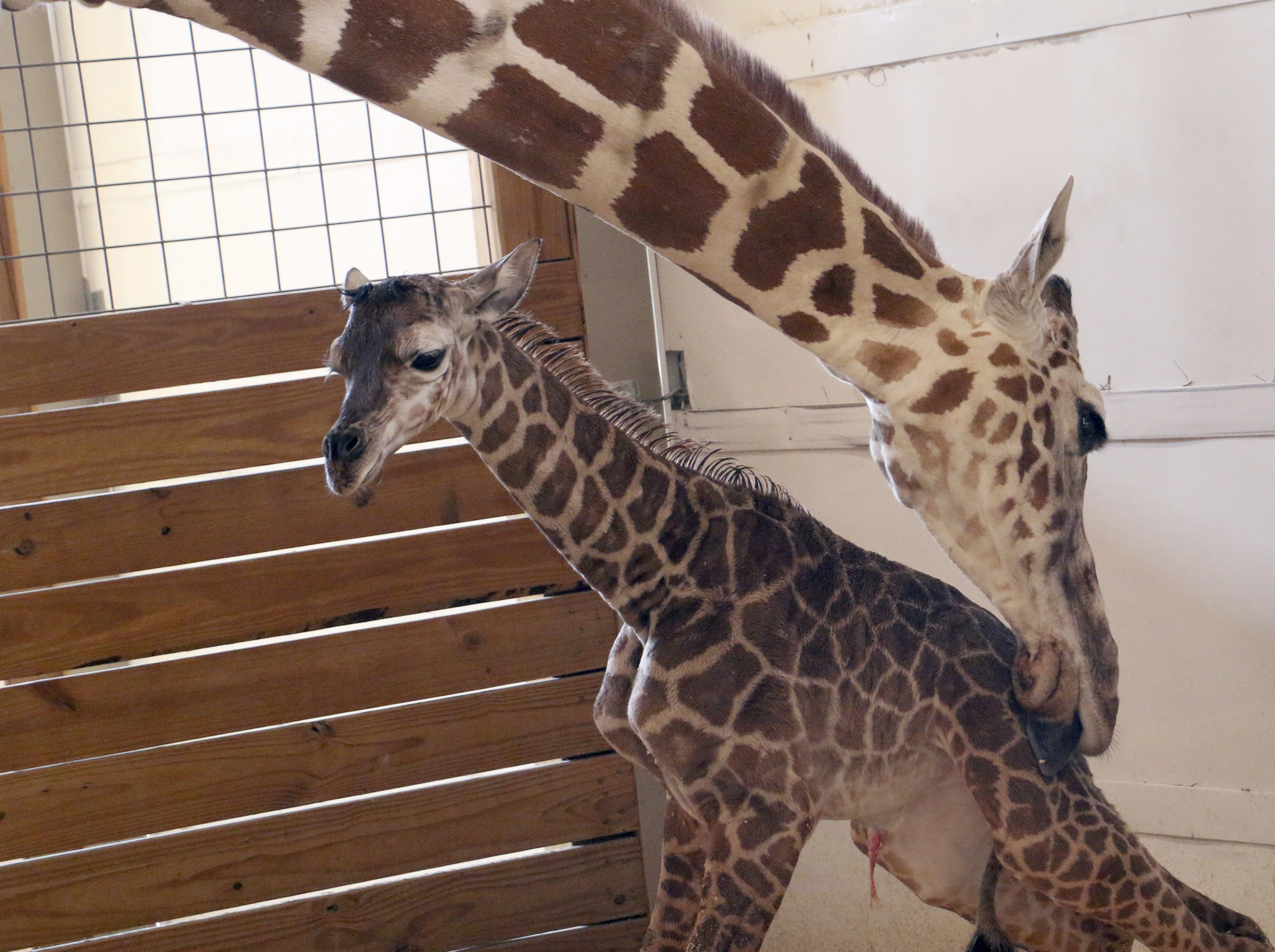 April the giraffe live cam youtube - Youtube Channel Showing Birth Of April The Giraffe S Baby 2nd Most Live Viewed Chicago Tribune
