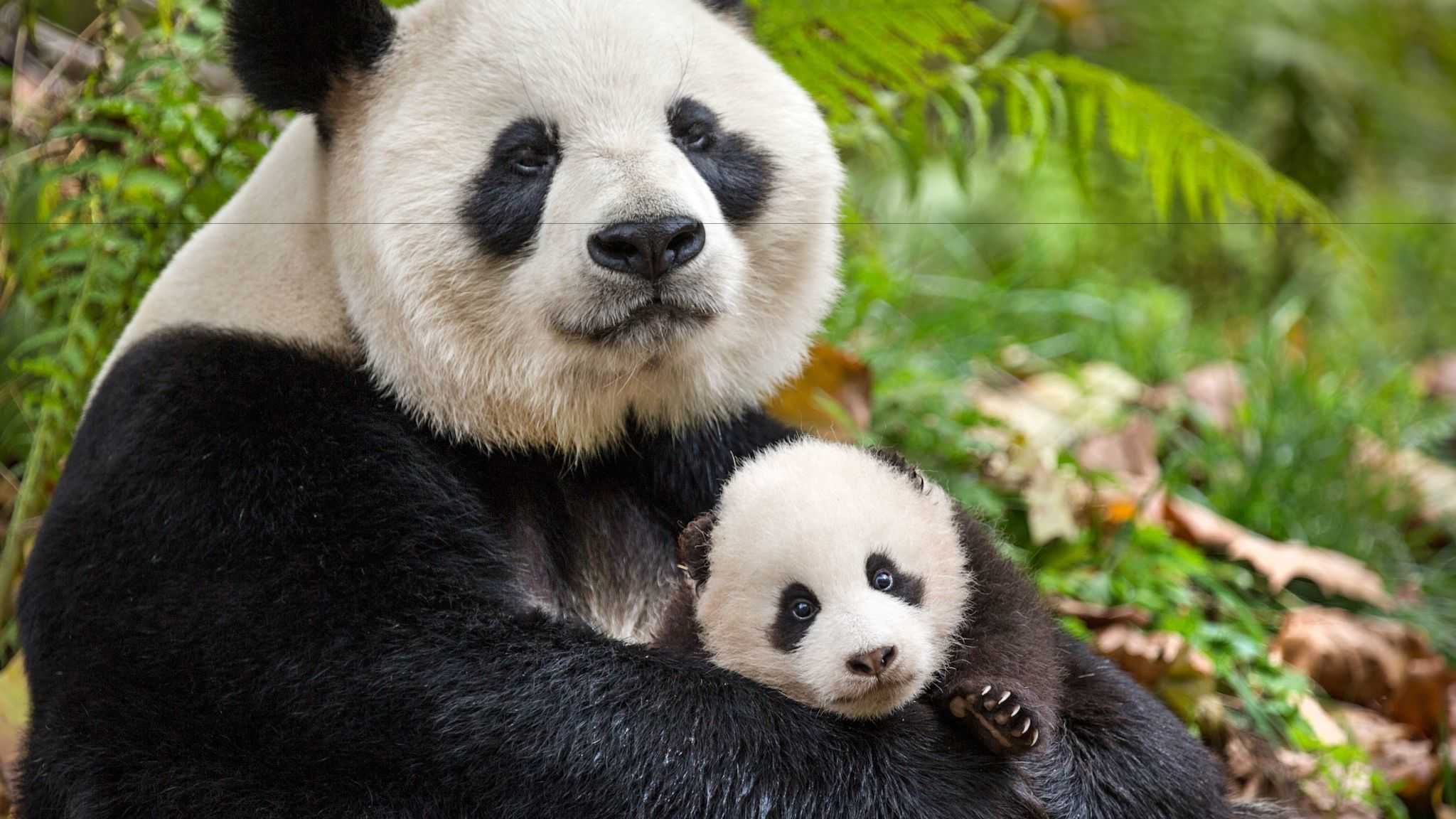 "Pandas YaYa and MeiMei in the documentary ""Born in China."""