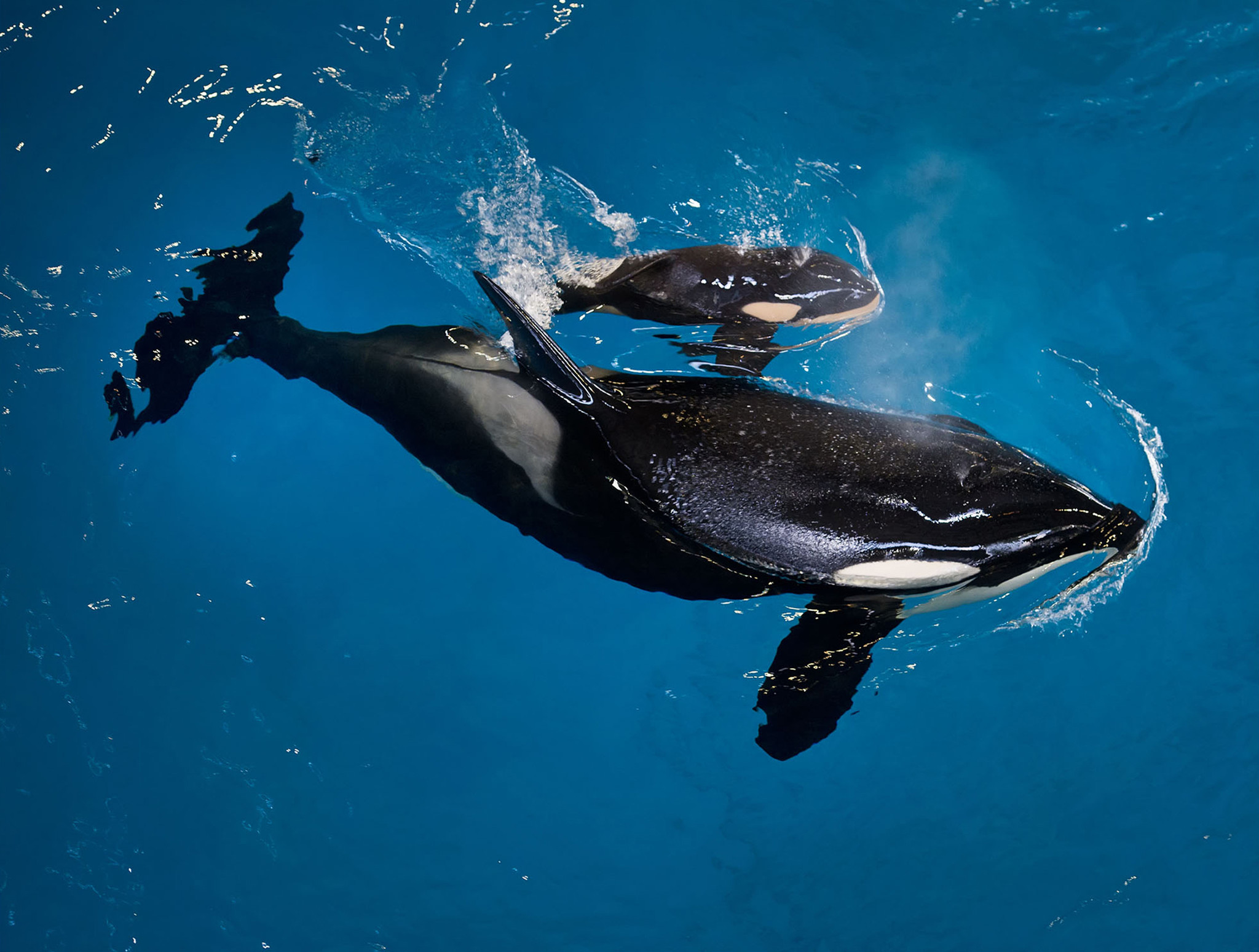 biologist orcas on killing spree attacking gray whale calves in