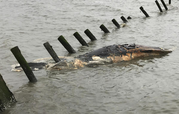 NOAA investigating spate of humpback whale deaths, including two in Maryland waters