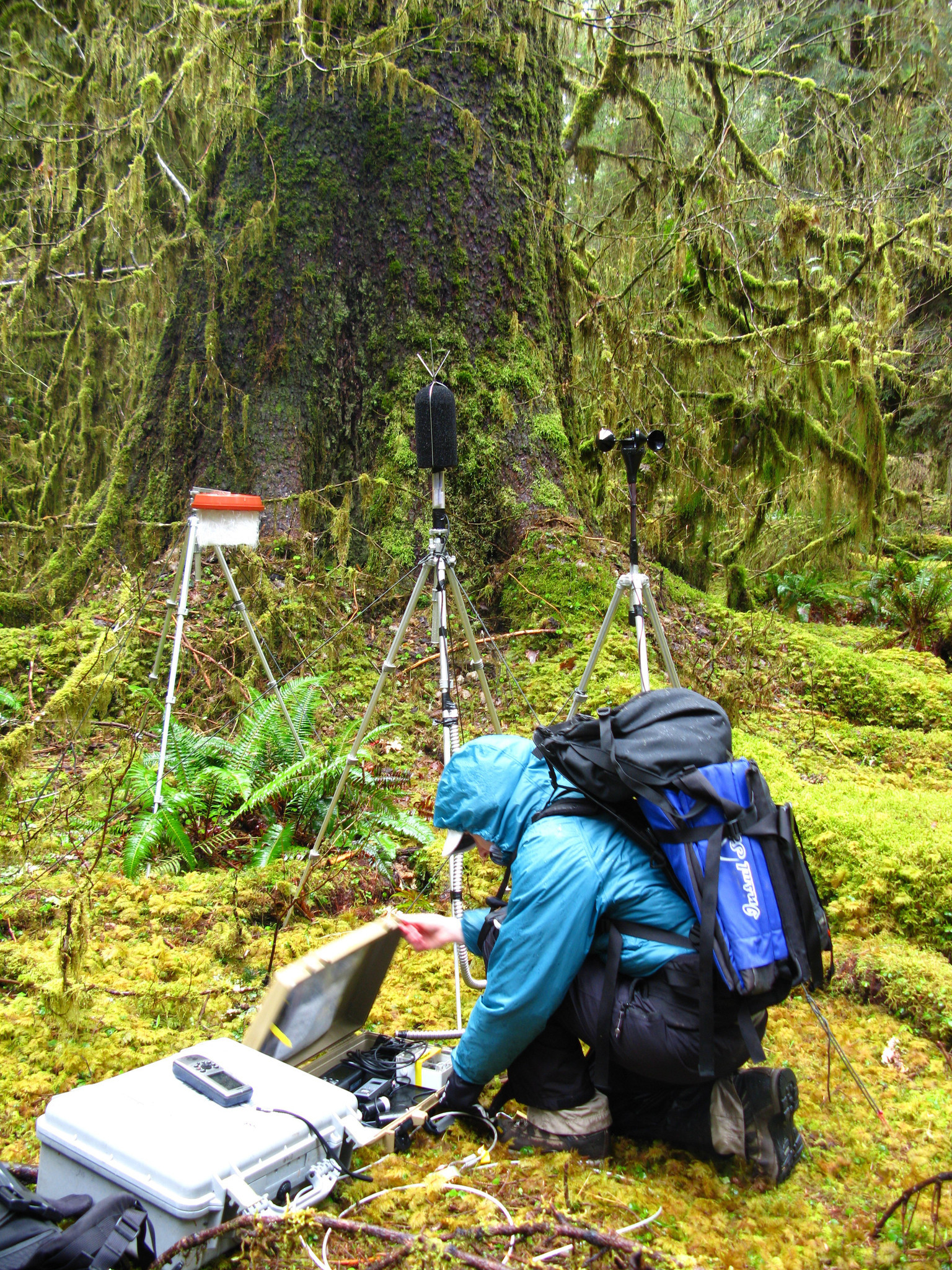 A National Park Service staff member sets up an acoustic recording station in the Hoh rainforest of Olympic National Park in Washington.