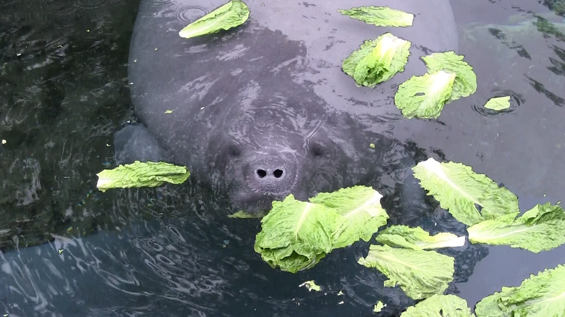 Manatees eat lettuce grown by orlando elementary students at seaworld hoy for Millennia gardens elementary school