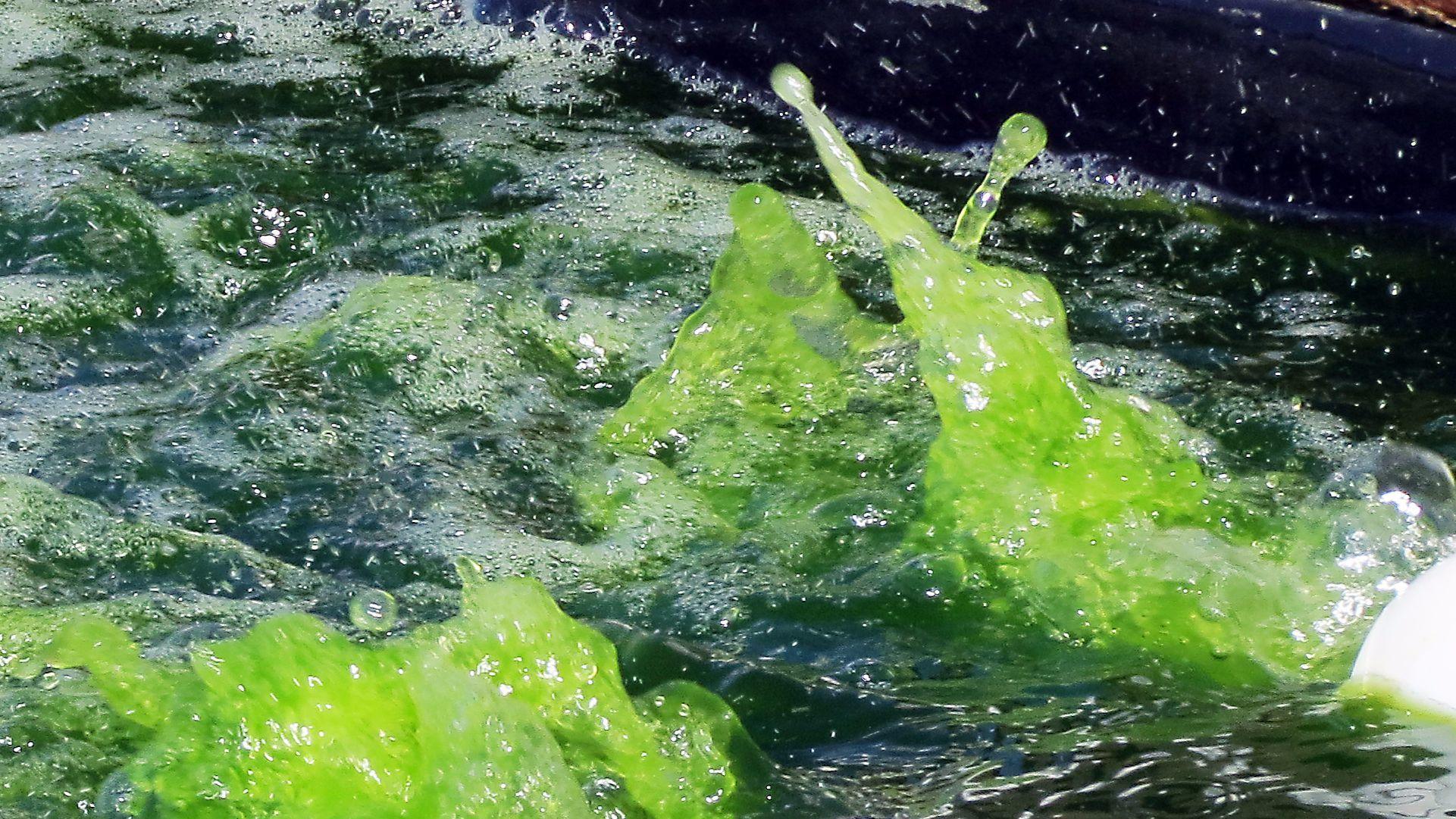 Genetically engineered algae safely grown outdoors