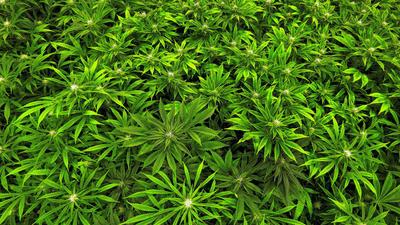 Medical marijuana firm seeks emergency ruling to halt Maryland industry