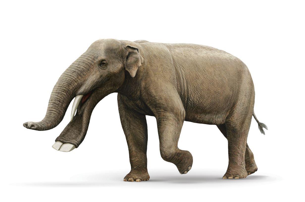 A shovel-tusked elephant.