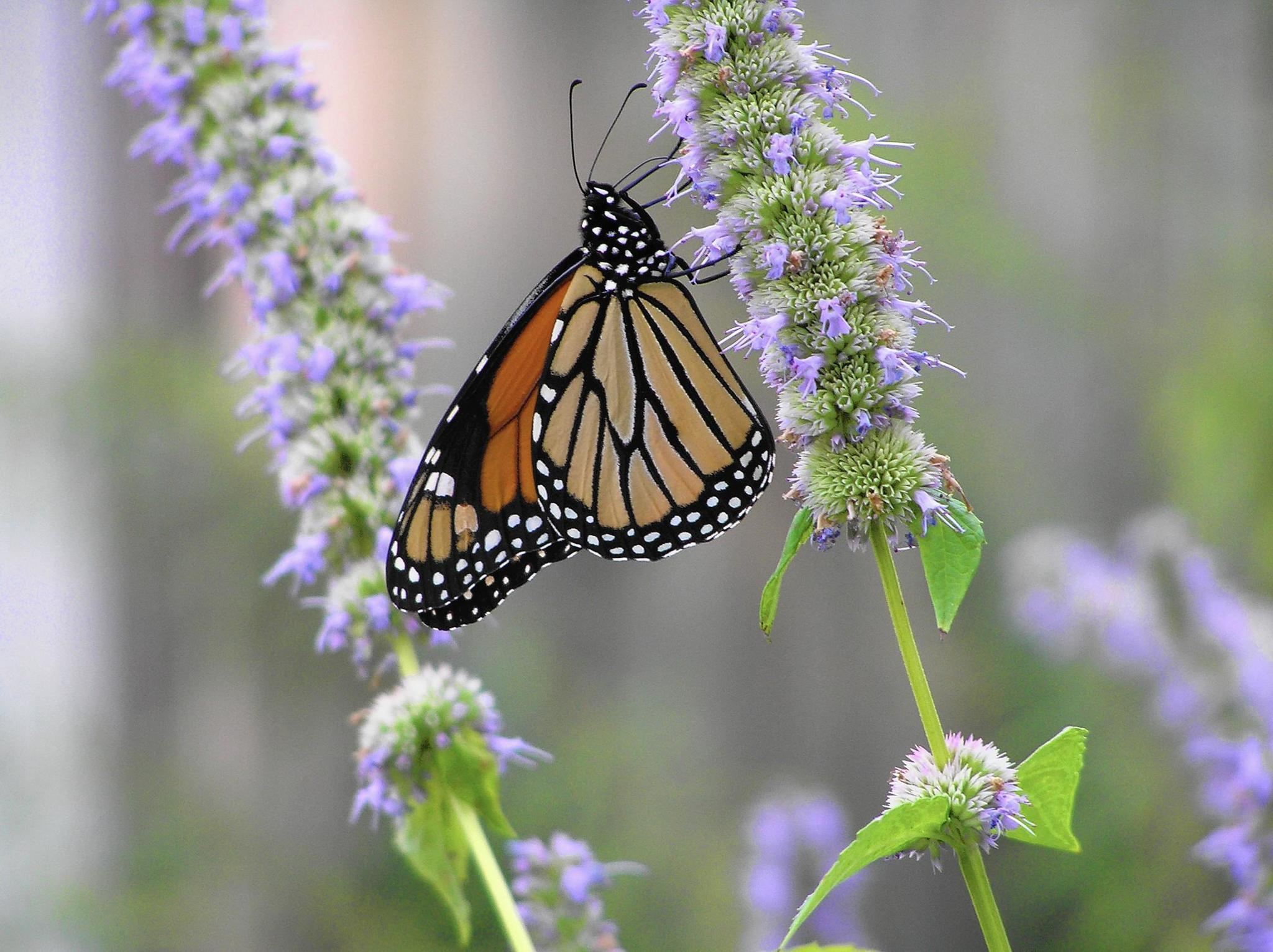 Make Your Yard Monarch Friendly As They Migrate Through Illinois   Chicago  Tribune