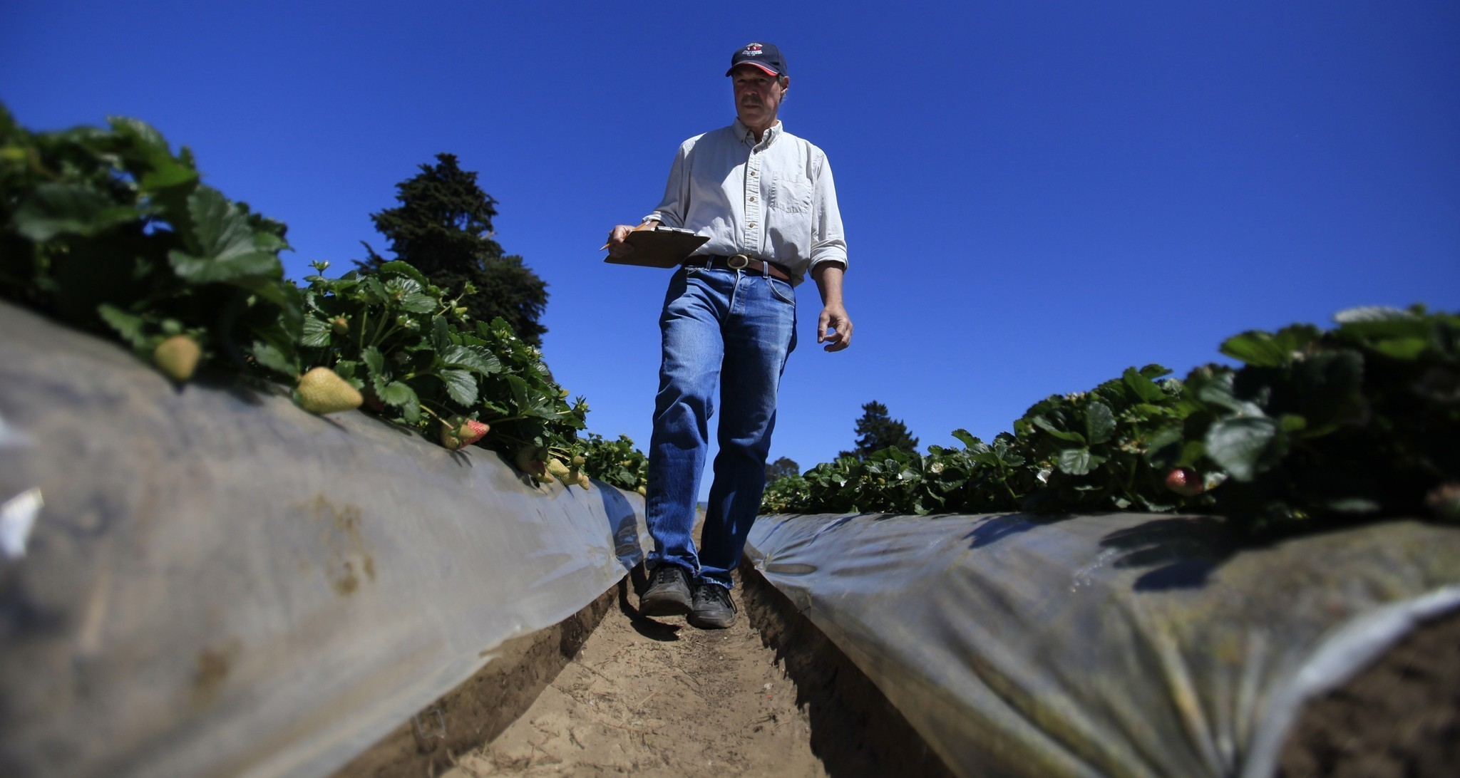In strawberry lawsuit, jury sides with UC Davis over former professor