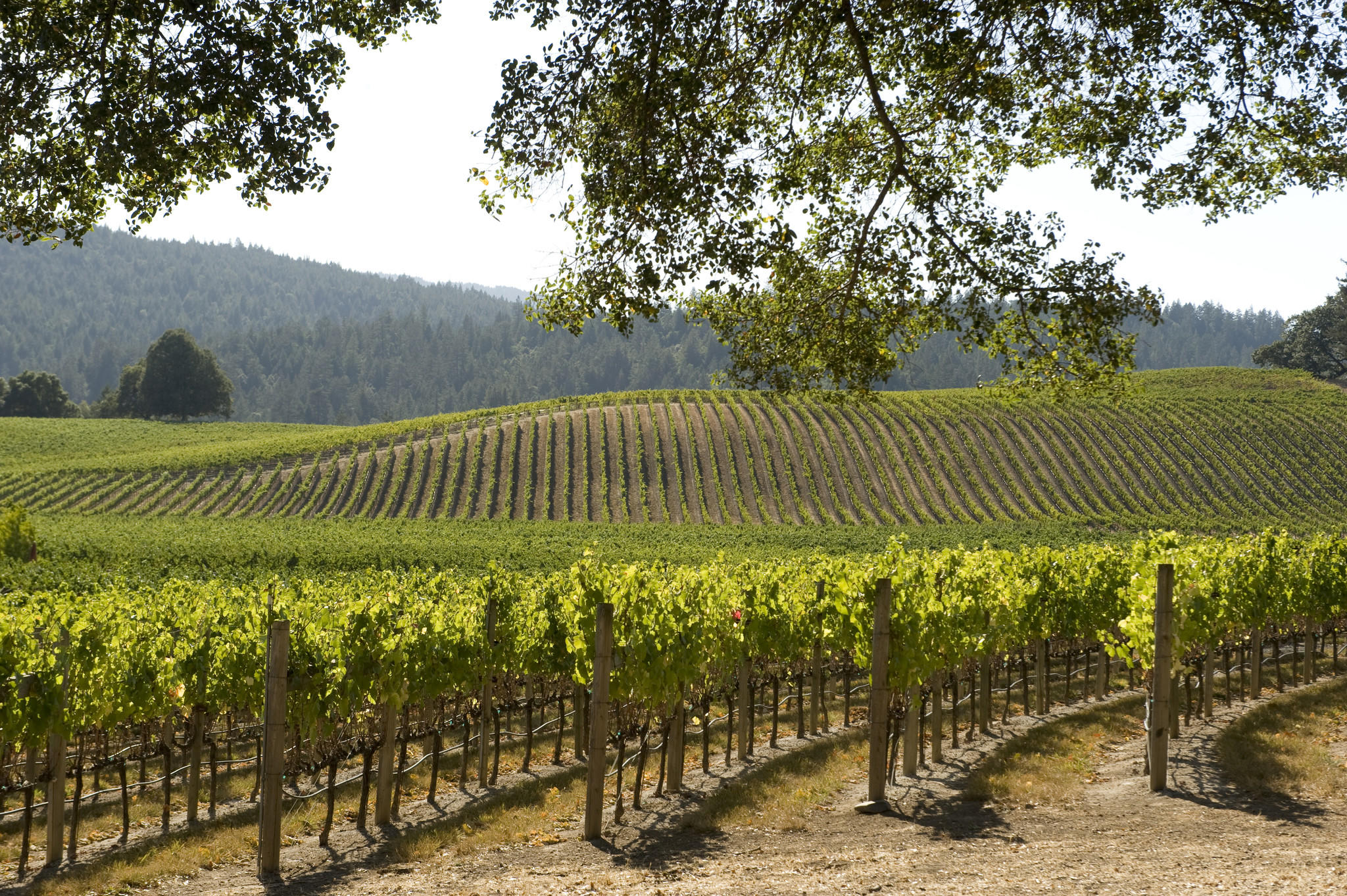 Mendocino County, Navarro Vineyards in Anderson Valley. (Robert Holmes / Getty Images / Dorling Kindersley)