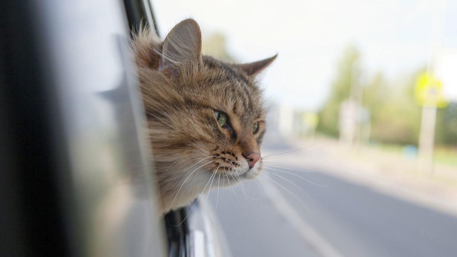Traveling by Car with a Cat