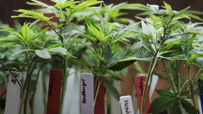 Judge temporarily halts Maryland medical marijuana industry